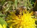 2.cena   Včela na pampelišce